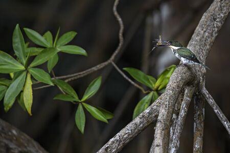 Amazon Kingfisher - Chloroceryle amazona, beautiful green and white kingfisher from New World fresh waters, Costa Rica.