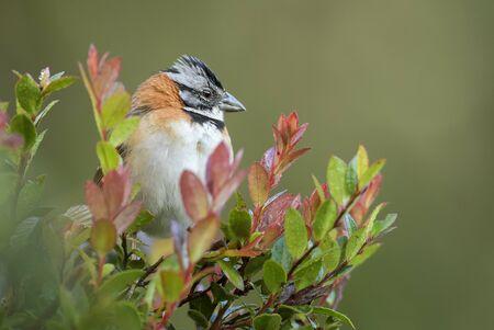 Rufous-collared Sparrow - Zonotrichia capensis, beautiful small New World sparrow, Costa Rica.