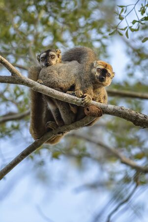 Red-fronted Lemur - Eulemur rufifrons, Kirindi forest, Madagascar