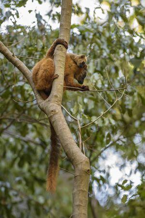 Red Lemur - Eulemur rufus, Tsingy de Behamara, Madagascar, Cute primate from Madagascar dry forest.