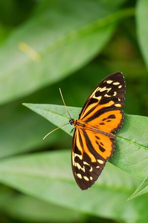 Harmonia tiger - Tithorea harmonia, beautiful colored brushfoot butterfly from Central and South American meadows, Ecuador.
