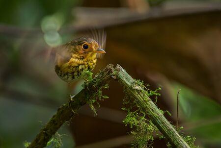 Ochre-breasted Antpitta - Grallaricula flavirostris, small l shy hidden bird from Andean forests, Mindodor.