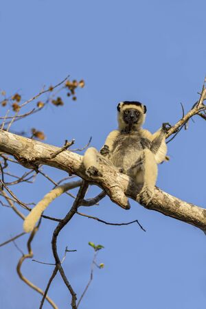 Verreaux's Sifaka - Propithecus verreauxi, dry forest Madagascar west coast, Cute primate, Madagascar endemite. Stok Fotoğraf