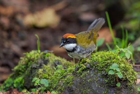 Chestnut-capped Brush-finch - Arremon brunneinucha, beautiful colored perching bird from South America forests, eastern Andean slopes, Guango lodge, Ecuador.