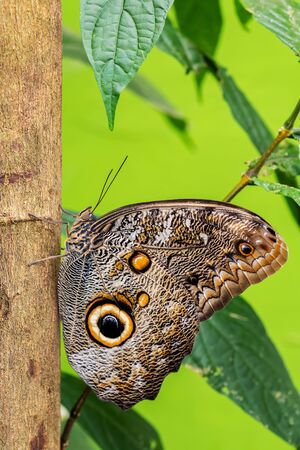 Forest Giant Owl - Caligo eurilochus, iconic beautiful large butterfly from South American forests, Mexico.