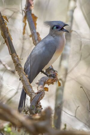 Crested Coua - Coua cristata, unique beautiful endemic bird from Madagascar dry forest – Kirindy.