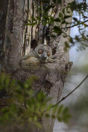 Red-tailed Sportive Lemur - Lepilemur ruficaudatus, small nocturnal endemic Madagascar sportive lemur hidden in the tree.