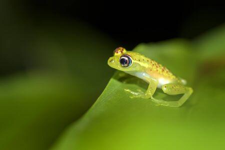 roter gepunkteter Frosch - Boophis bottae, schöner nachtaktiver endemischer Frosch aus den Wäldern von Madagaskar, Andasibe. Standard-Bild
