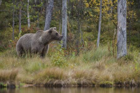 Brown Bear - Ursus arctos in typical nordic European forest, Finland, Europe