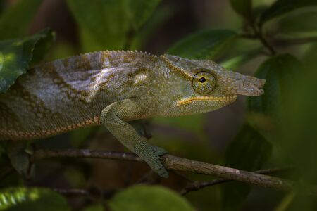 Chameleon - Furcifer bifidus, beautiful green chameleon endemic in Madagascar forests.