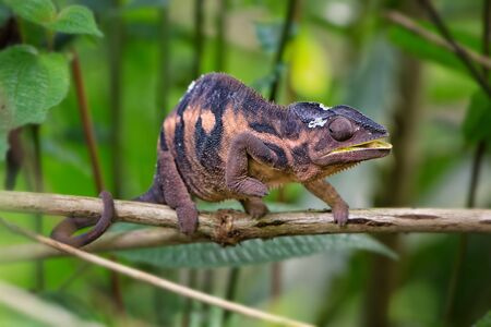 Panther Chameleon - Furcifer pardalis, Madagascar. Beautiful lizard from Madagascar rainforest, Endemic colorful.
