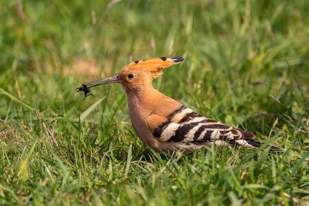 Eurasian Hoopoe - Upupa epops, beautiful orange bird from European forests and meadows, Hortobagy, Hungary. Stock Photo