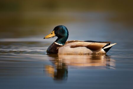 Mallard duck - Anas platyrhynchos, common water bird from European rivers and lakes, Hortobagy National Park, Hungary.