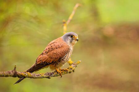 Eurasian Kestrel - Falco tinnunculus, beautiful bird of prey from European and Asian forest, Hortobagy, Hungary.