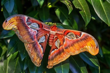 Atlas Moth - Attacus atlas, beautiful large iconic moth from Asian forests and woodlands, Borneo, Indonesia.