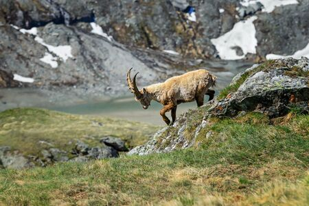 Alpine Ibex - Capra ibex, Alps, the highest European mountains, Austria.