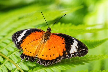 Leopard Lacewing - Cethosia cyane, beautiful orange and red butterfly from East Asian forests, Malaysia. Stock Photo