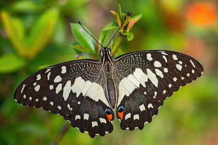 Lime Butterfly - Papilio demoleus, beautiful colored butterfly from Asian meadows and woodlands, Malaysia.