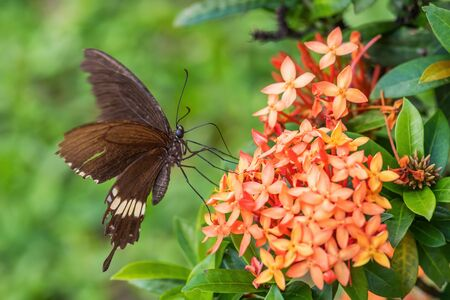 Common Mormon - Papilio polytes, beautiful large black butterfly from Southeast Asian meadows and woodlands, Malaysia. Stock Photo