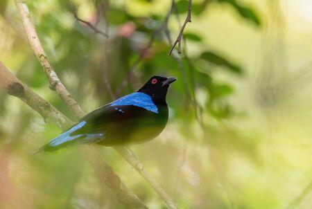 Asian Fairy Bluebird - Irena puella, beautiful blue perching bird from Southeast Asian forests and woodlands, Mutiara Taman Negara, Malaysia. 写真素材
