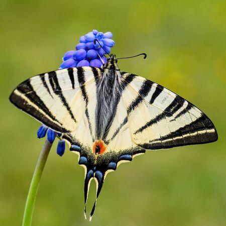 Scarce Swallowtail - Iphiclides podalirius,  beautiful colored swallowtail from European meadows and bushes, Zlin, Czech Republic. Stock Photo
