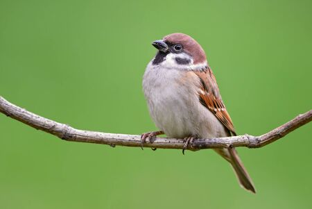 Eurasian Tree Sparrow - Passer montanus, common perching bird from European gardens and woodlands, Zlin, Czech Republic.