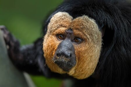 Guianan Saki - Pithecia pithecia, beautiful rare shy primate from South American tropical forests, Brazil.