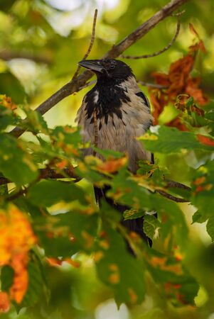 Hooded Crow - Corvus cornix, beatiful black and gray crow from European woodlands, Eastern Rodope mountains, Bulgaria. Foto de archivo - 150116883