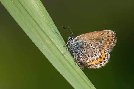 Silver-studded Blue butterfly - Plebejus argus, beautiful colored buttefly from European meadows and grasslands, Zlin, Czech Republic. 免版税图像