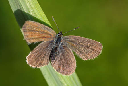 Silver-studded Blue butterfly - beautiful colored buttefly from European meadows and grasslands, Zlin, Czech Republic.