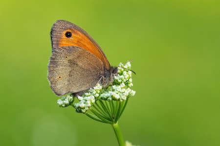 Meadow Brown butterfly - Maniola jurtina, small brown brushfoot from European meadows and grasslands, Zlin, Czech Republic. 免版税图像