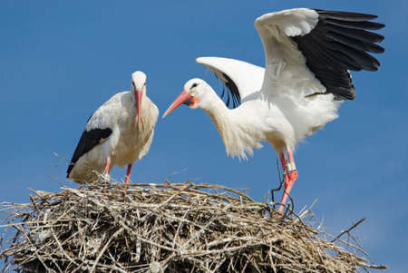 White Stork - Ciconia ciconia, beautiful large popular bird from Europeand grasslands and meadows, Basel, Switzerland.