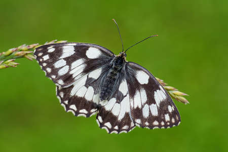 Marbled White butterfly - Melanargia galathea, beautiful black and white butterfly from European meadows, Zlin, Czech Republic.
