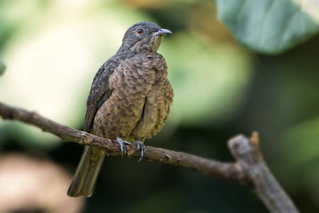 Cotinga cayana perching bird canopy of the Amazon Rainforest in South America, Brazil.