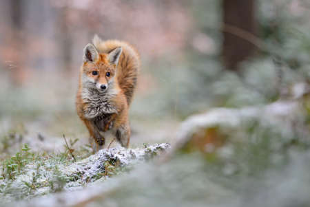 Red Fox in winter from European forests, Czech Republic.