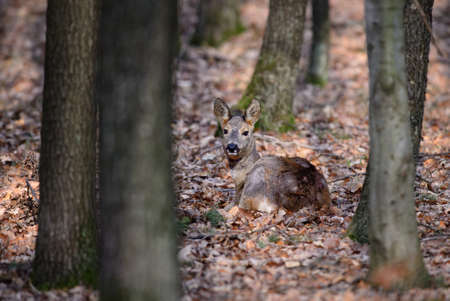 European Roe Deer - Capreolus capreolus, common deer from European forests, woodlands and meadows, Czech Republic.