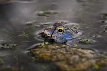 Moor Frog - Rana arvalis, beautfiul special frog from Euroasian fresh waters, Moravia, Czech Republic.