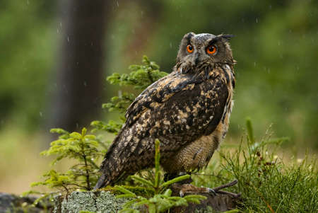 Eurasian Eagle-owl - Bubo bubo, large owl from  European forests, Falconry, Czech Republic.