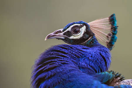 Indian Peafowl - Pavo cristatus, beatiful iconic colored bird from Indian forests and meadows, Sri Lanka.