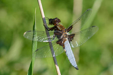 Broad-bodied Chaser - Libellula depressa, beautiful large dragonfly from European still waters, Zlin, Czech Republic.