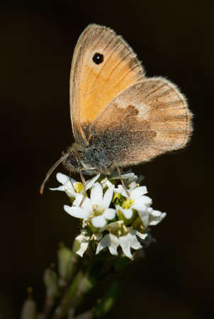Small Heath butterfly - Coenonympha pamphilus, beautiful brown and orange butterfly from Europe and North Africa, Zlin, Czech Republic.