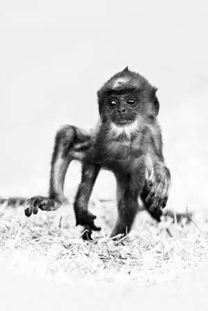 Hanuman Langur - Semnopithecus entellus, beautiful black faced primate from Indian subcontinent, Sri Lanka.