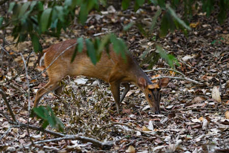 Southern Red Muntjac - Muntiacus muntjak, beatiful small forest deer from Southeast Asian forests and woodlands, Sri Lanka.