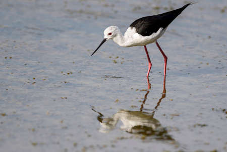 Black-winged Stilt - Himantopus himantopus, beautiful long-legged water bird from European marshes and swamps, Sri Lanka.