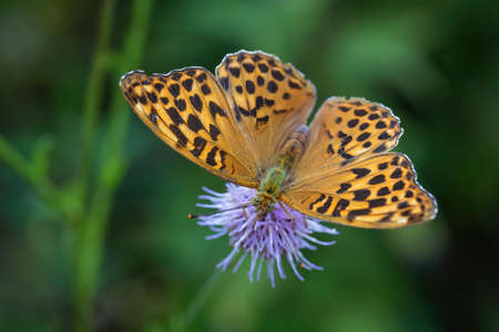 Silver-washed fritillary - Argynnis paphia, beautiful large orange butterfly from European meadows, Havraniky, Czech Republic.