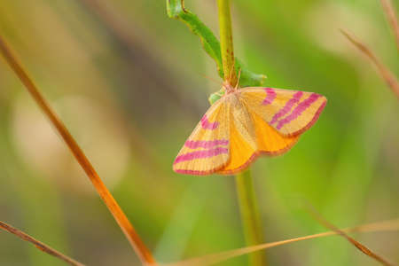 Purple-barred Yellow moth - Lythria cruentaria, beautiful colored moth from European meadows and grasslands, Havraniky, Czech Republic. Foto de archivo