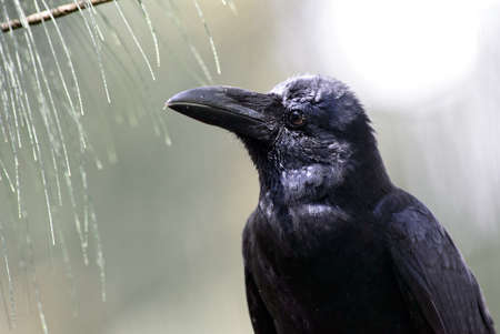 Large-billed Crow - Corvus macrorhynchos, large black crow from Asian forests and woodlands, Sri Lanka.