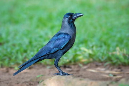 House Crow - Corvus splendens, common black crow from Asian forests and woodlands, Sri Lanka.