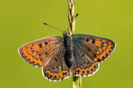 Sooty Copper butterfly on green