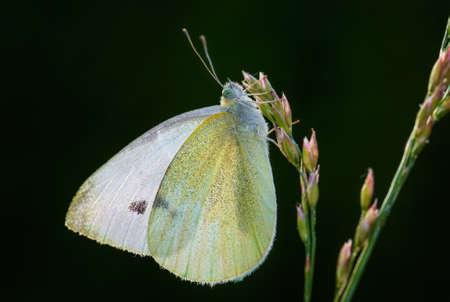 Small White - Pieris rapae, beautiful white butterfly from European meadows and grasslands, Zlin, Czech Republic. 版權商用圖片